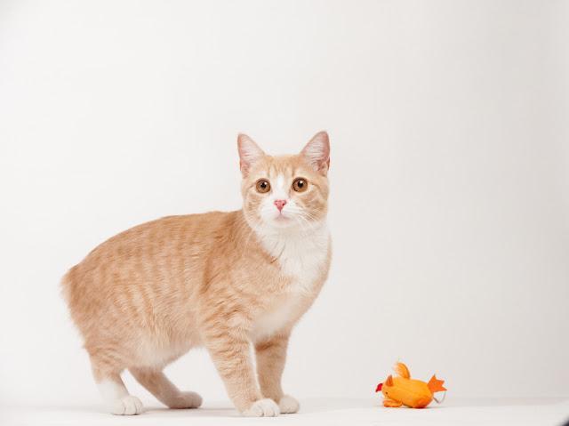 猫のマンクスとオレンジ色のおもちゃ